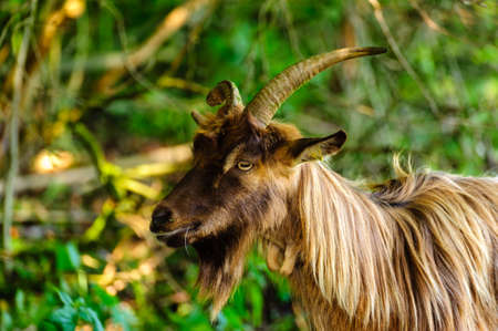 Goat in nature with horns, beard, brown fur, eating, selective focus, shallow depth of field. Foto de archivo