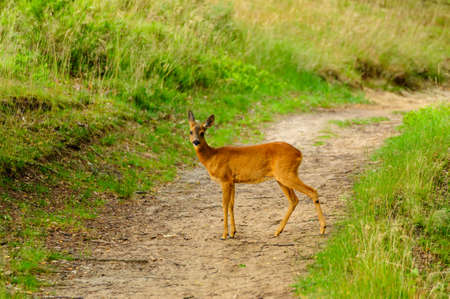 Shy deer standing on a trail at daylight in nature reserve Fischbeker Heide.