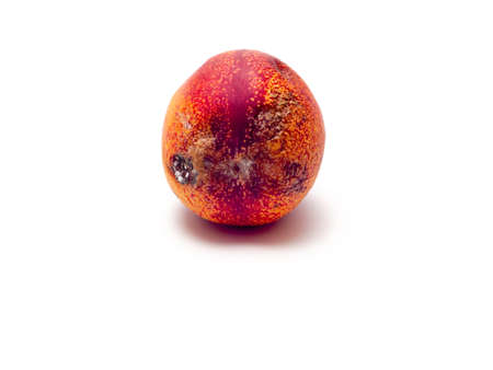 Single rotten nectarine with white fungus on skin isolated on white background. Selective focus. Stock Photo