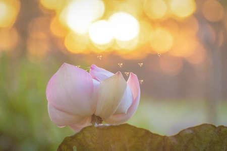 Lotus et abeilles  Banque d'images - 56477390