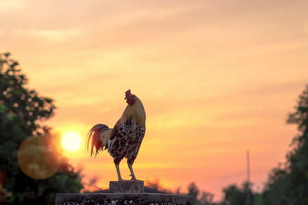 Early morning of new day concept: Silhouette rooster on blurred beautiful sunrise sky with sun light in farm autumn background