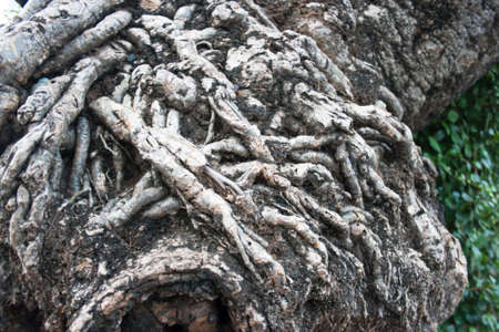 A close up of old root wooden texture  photo