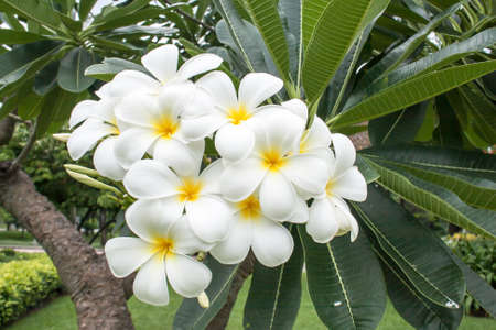 Branch of white and yellow Frangipani flower with leaves in background photo