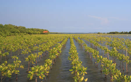 mangroves: growth of young green mangroves