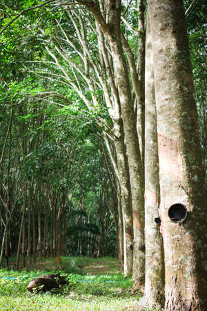 deepness: para rubber trees garden with bowl Stock Photo