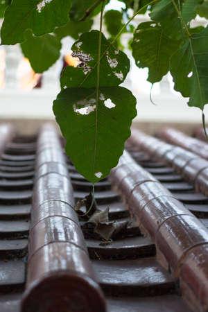 fig leaf: Sacred fig leaf with roof tile on rooftop