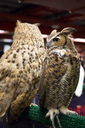 european: European eagle owl