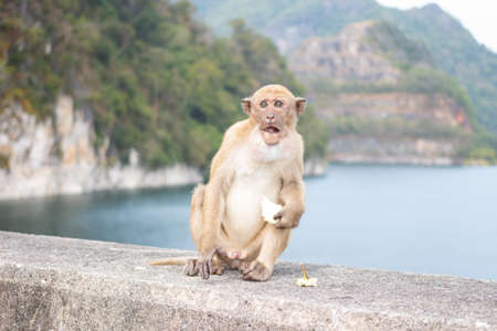 primates: hungry long tail monkey eat fruit and banana Stock Photo