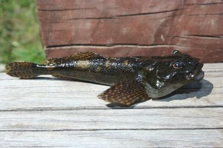 bullhead fish: bullhead Stock Photo
