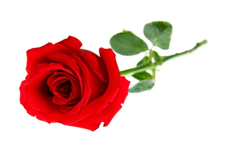 long stem: red rose Stock Photo