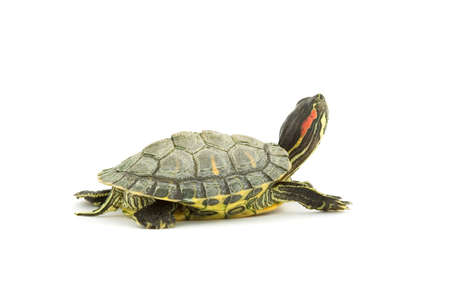 red ear turtle studio isolated Stock Photo