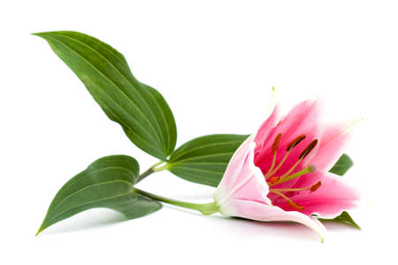 pink lilly flower studio isolated