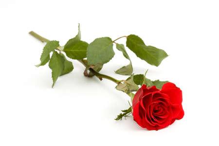 red rose flower studio isolated