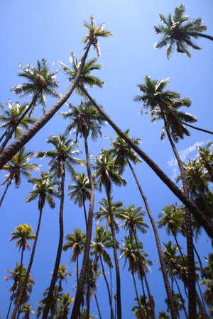 Kapuaiwa Coconut Grove, Molokai Island, Hawaii