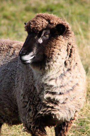 Grazing Sheep Close Up, New Zealand photo