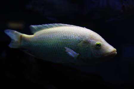 cichlid: Ocean White Tilapia Fish in Honolulu Aquarium Stock Photo