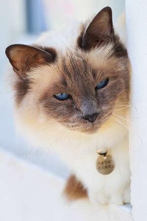 blue siamese cat: french-siamese domestic cat Stock Photo