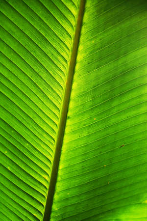 chlorophyll: Banana leaves background