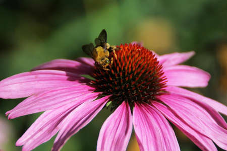 tickseed: Pink Cosmos sulphureus and bee