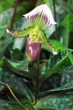 breda: Paphiopedilum or Venus Slipper ,Thai Orchid