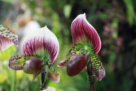 breda: Purple Spot Paphiopedilum orchid close up with green and white stripes