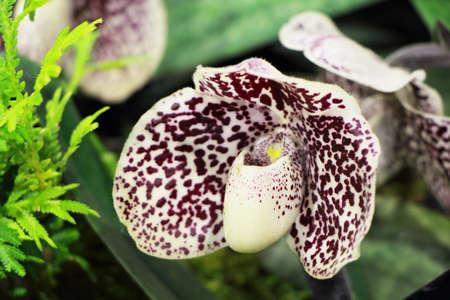 breda: Close up of Paphiopedilum malipoense -the Jade Slipper Orchid. Stock Photo