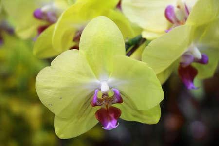 breda: Yellow  Vanda Orchid species