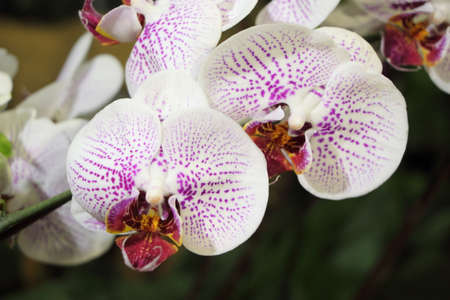 breda: Gorgeous white and purple phalaenopsis orchid flower on natural background
