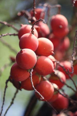 areca: Close up of Fresh foxtail palm fruit Wodyetia bifurcata,Ripe Areca Nut Palm Or Betel Nut On Tree