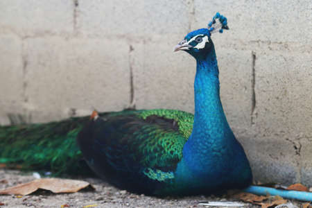 flaunt: Beautiful Struttung male peacock is sitting  in a home garden