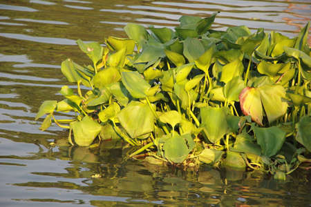 water hyacinth: Water hyacinth or Eichhornia crassipes plant floating on a river Stock Photo