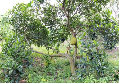 indigenous medicine: Jackfruit Tree (Artocarpus heterophyllus)