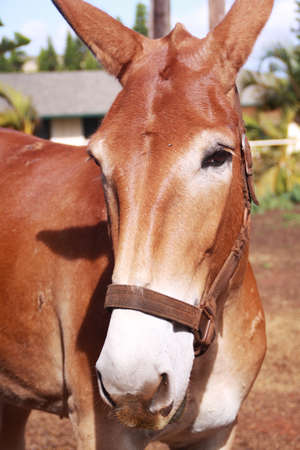 mule train: Head shot of Mule in  Molokai Island, Hawaii. The mules are trained by Molokai Mule Ride down to Kalaupapa National Historical Park.
