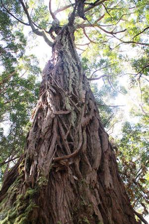 eucalyptus trees: A low angle view of eucalyptus trees on the pacific island. Waikolu Lookout, Molokai Forest Reserve, Molokai, Hawaii, USA Stock Photo