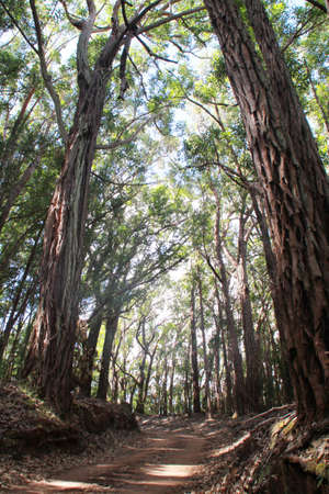 eucalyptus trees: Dirt road passing through a eucalyptus trees forest, Waikolu Lookout, Molokai Forest Reserve, Molokai, Hawaii, USA Stock Photo