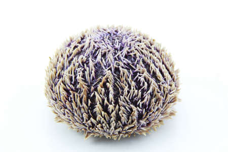 Sea urchin and its violet echinoidea spines isolated on white