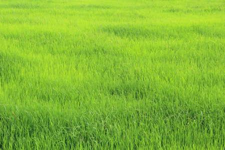 Green Rice Field in a rainy season