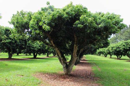 Beautitul Orchard - Lychee Trees Farm at Khao Kho ,Petchaboon