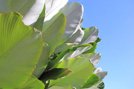 Green cigar leaf or calathea luted in blue sky background