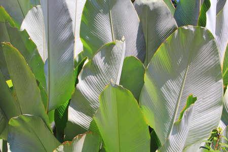 Green cigar leaf or calathea lutea