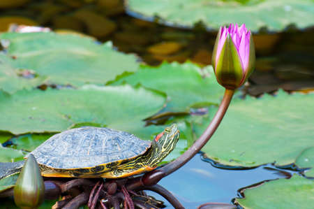 turtle resting on leave of a water lily photo