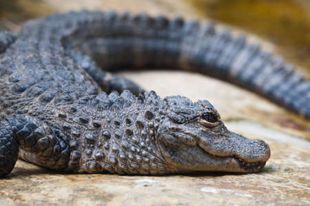 alligator eyes: a Chinese Yangtze alligator having sunbath on rock