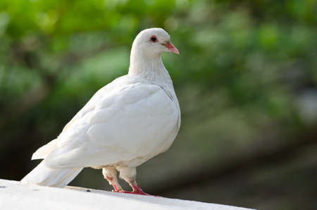 portrait of a pure white pigeon with bokeh background Stock Photo - 11354313