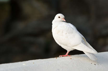 white pigeon: portrait of a pure white pigeon with bokeh background