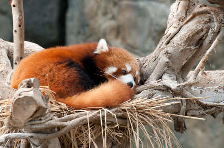 arboreal: a red panda is sleeping on tree