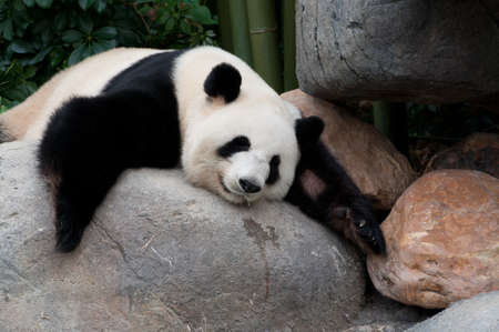 panda bear: a giant panda sleeping on rock near water Stock Photo