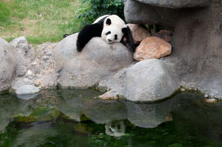 black giant: a giant panda sleeping on rock near water Stock Photo