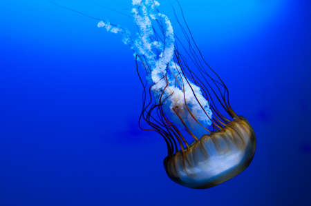 jelly fish: pacific giant jelly fish on blue background Stock Photo