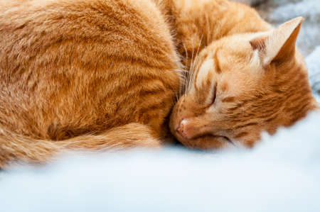 cat sleeping: a cute brown cat sleeping peacefully on bed Stock Photo