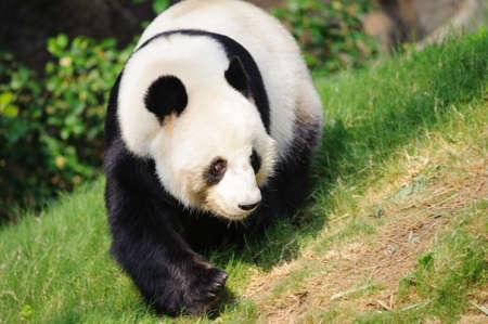 endanger: panda